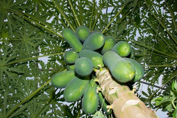papaya-1692477_1280